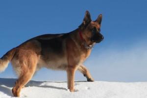 deutscher-schäferhund-sicherheit